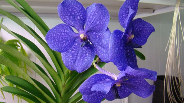 Цветки голубой Ванды