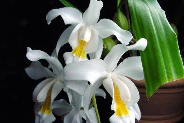 Гребенчатая ароматная орхидея
