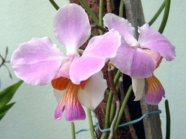 Орхидея Ванда Вальковатая