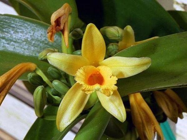 Орхидея сорта Ваниль