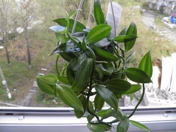 Орхидея Ваниль на подоконнике