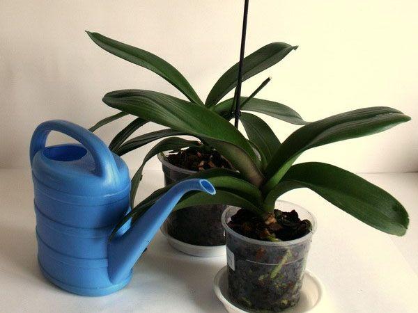 Недостаток или переизбыток влаги губителен для орхидеи