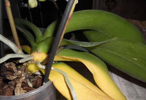 Неправильный полив губителен для растения