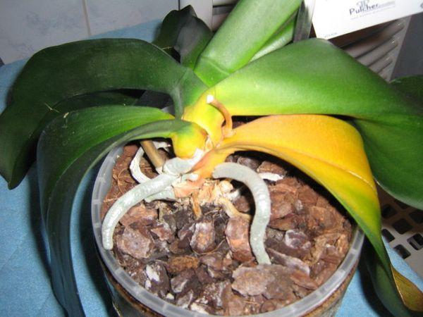 Несбалансированная подкормка вредит орхидеей