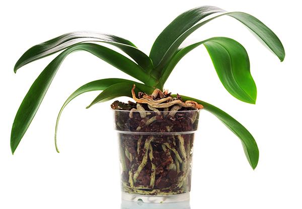 Как понять что пора пересаживать орхидею