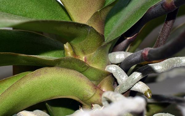 Кончик цветоноса окрашен в зеленый цвет, корень серый или серо-зеленый