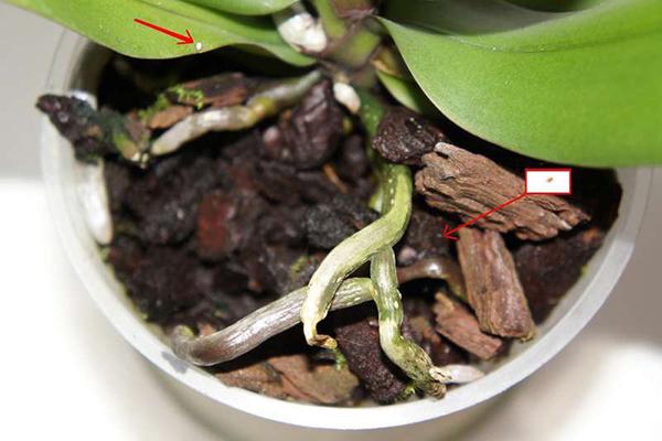 Обязательно необходимо пересадить орхидею, если в субстрате завелись вредители