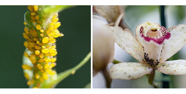 На орхидее заводится серая, черная, зеленая, белая, красная, желтая, бурая тля