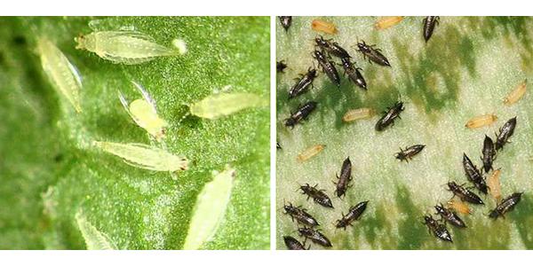 Взрослые особи и личинки трипса
