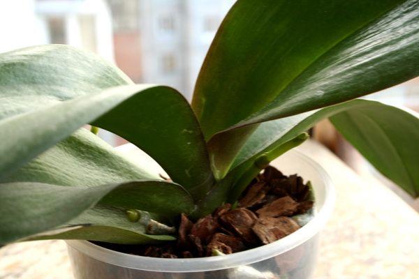 Листья могут перестать расти из-за неправильной температуры