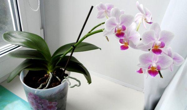Недостаток освещения негативно влияет на орхидею