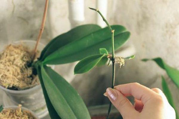 Черенок орхидеи для посадки