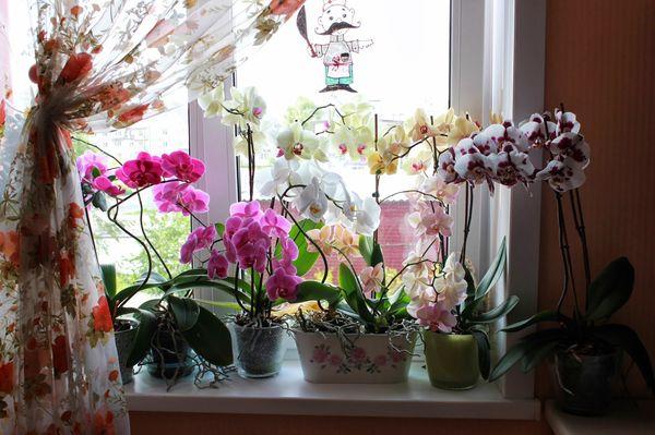 Фаленопсис относится к моноподиальному типу орхидей