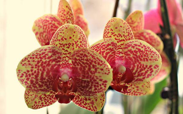 Оптимальная влажность воздуха для орхидеи – 70–80%