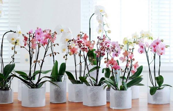 Цветущая орхидея в домашних условиях