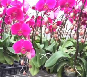 Орхидея в теплице генеративным способом