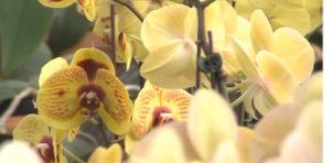 Орхидея в теплице